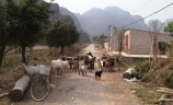 Goat road block, en route to Mua Caves, a short drive from central Ninh Binh